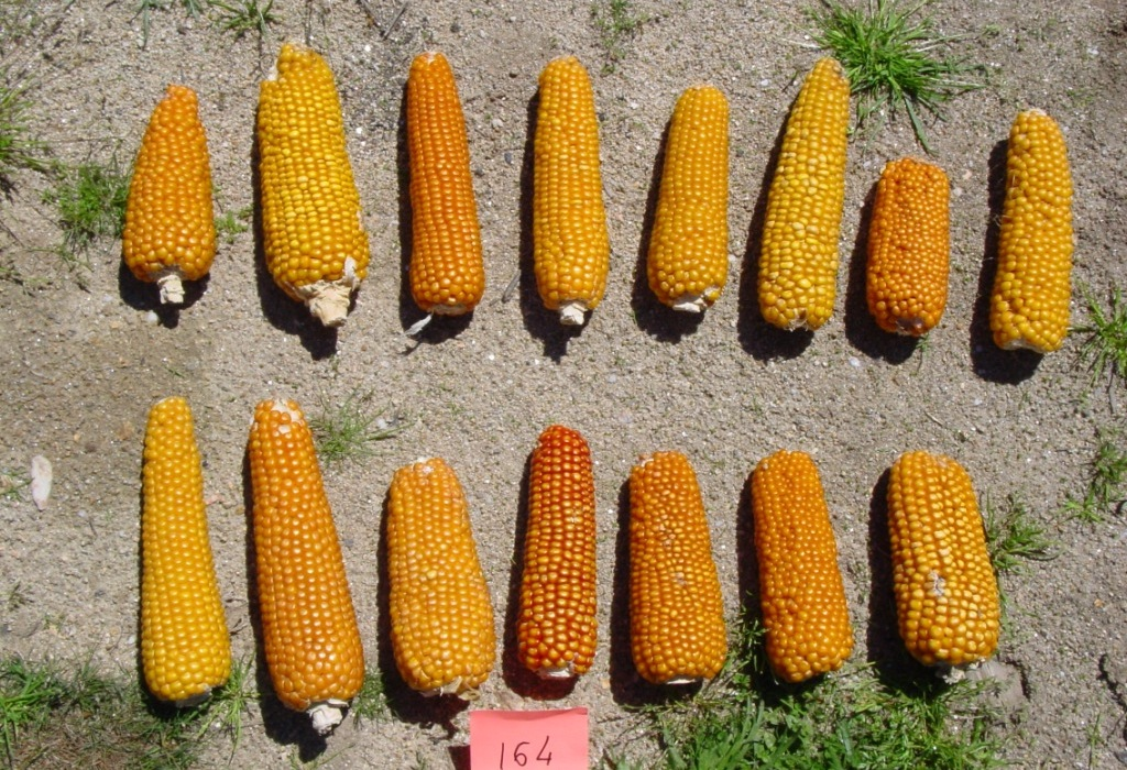 Different corns displayed